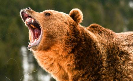 Wenn der Bär piepst